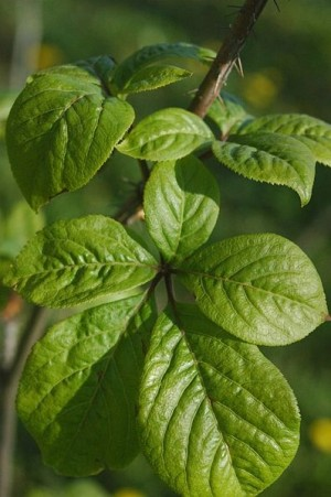 Eleuthero is one of several adaptogenic herbs included that will help mitigate stress and improve your workout capacity.