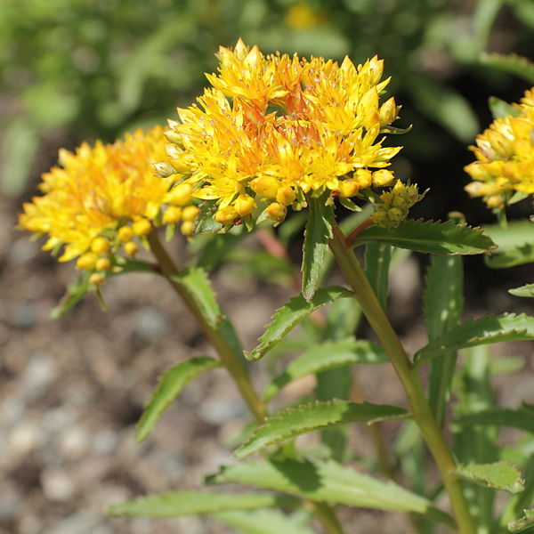 Rhodiola Images Courtesy Wikimedia Commons