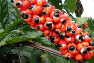 Guarana is typically seen in energy drinks, but packs quite a potent stim punch as it has 2x as much caffeine compared to coffee beans.