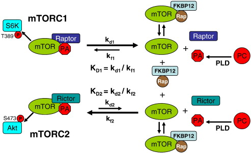 Phosphatidic Acid - MTOR Signaling