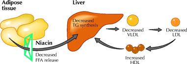 Niacin and liver function