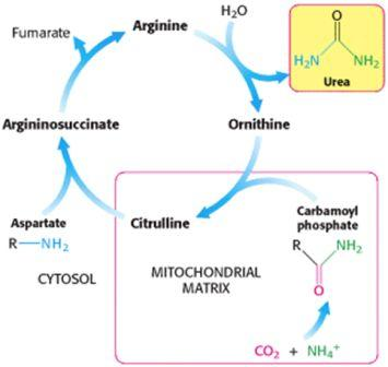 The Citrulline Pathway
