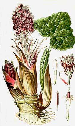 Butterbur (Petasides hybridusis)