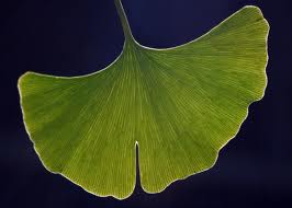 Any nootropic effects derived from ginkgo biloba comes from the plant's leaves.