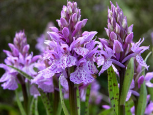 Orchis Flower