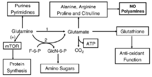 Here are a few of the pathways that glutamine is involved in.