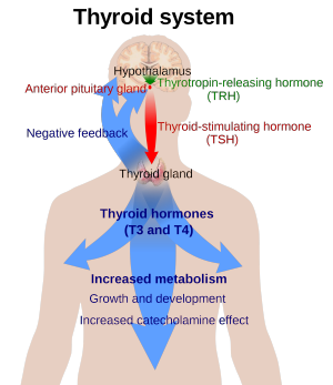 T3 / T4 Thyroid Hormone Effects
