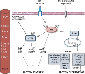 Amino acid muscle protein synthesis