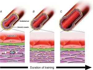 Nitric Oxide - Vasodilation During Training
