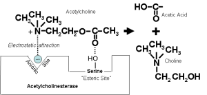 Acetylcholinesterase