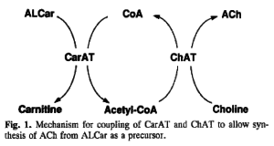 ALCAR Choline Acetylcholine Synthesis