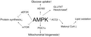 AMPK Biological Roles