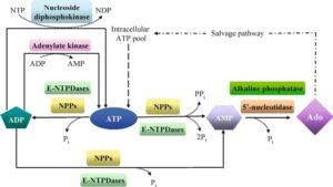 ATP AMP Salvage Pathway