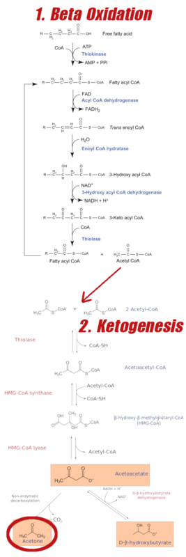 Beta Oxidation Ketogenesis