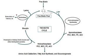 Biotin Cycle
