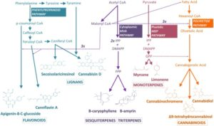 Cannabidiol Pathways