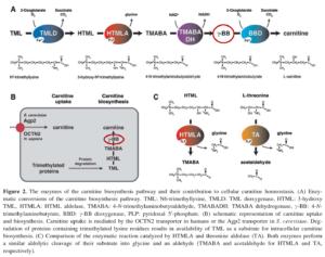 Carnitine Biosynthesis Pathway