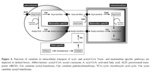 Carnitine Function in Intracellular Transport