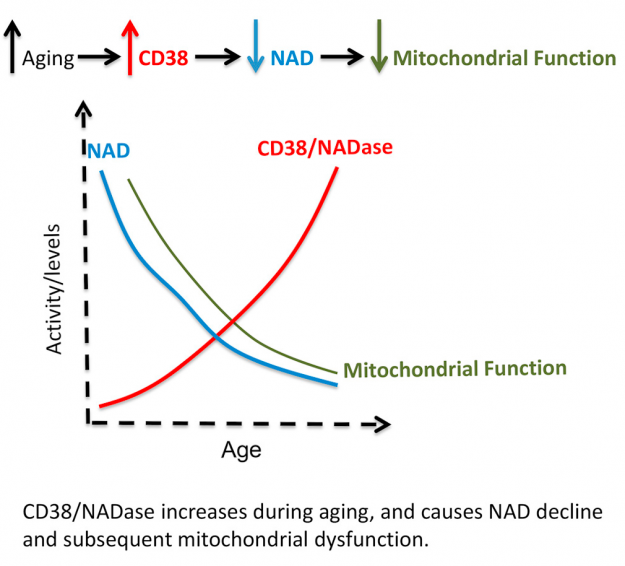 CD38 NAD Aging