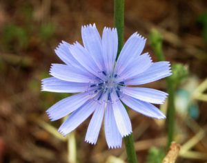 Inulin Chicory Flower