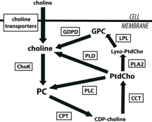 Choline Phospholipid Metabolism