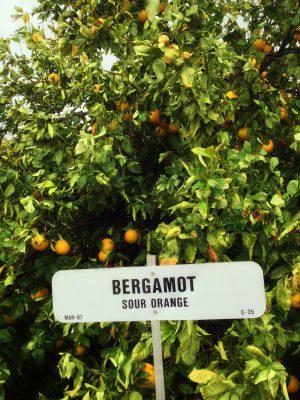 Citrus Bergamot Tree