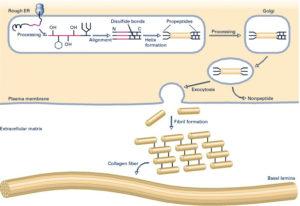 Collagen Formation