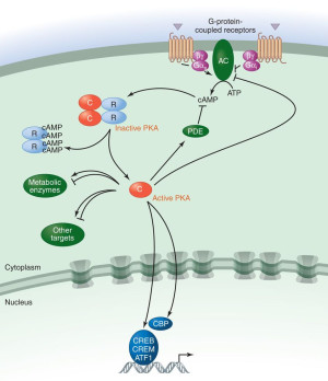 Cyclic AMP Pathway and PDE4