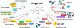 Ellagic Acid Benefits