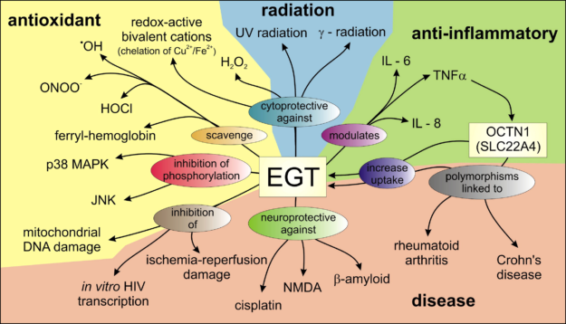 Ergothioneine Roles