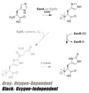 Ergothioneine Synthesis