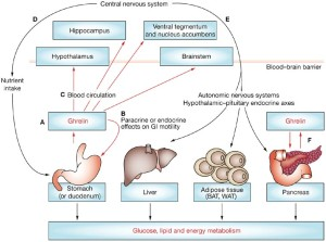Ghrelin and Leptin Resistance