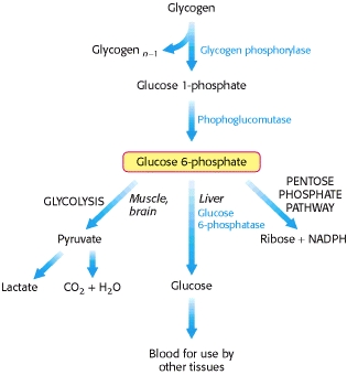 Glucose Glycogen