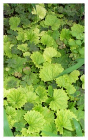 Gotu Kola Plant
