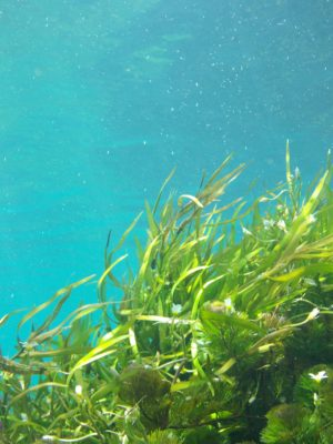 Kelp Iodine
