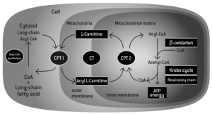 L-Carnitine Function