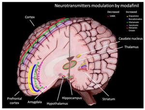 Modafinil Neurotransmitter Modulation
