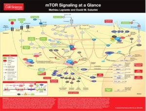 mTOR Signaling