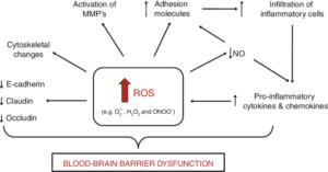 Reactive Oxygen Species and Blood Brain Barrier Dysfunction