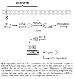 Salidroside HIF-1a