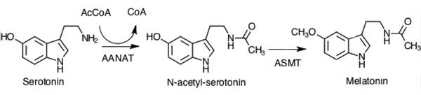 Serotonin Melatonin