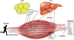Skeletal Muscle Endocrine Organ