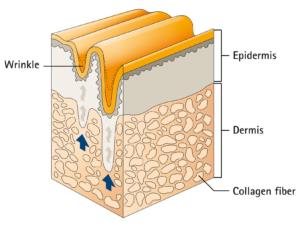 Skin Wrinkles Collagen