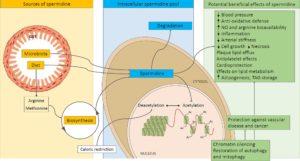 Spermidine Benefits