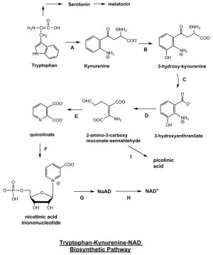 Tryptophan Kynurenine NAD Biosynthetic Pathway