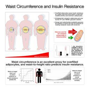 Waist Circumference Insulin Resistance