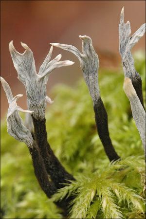 Xylaria Plant